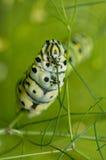 Macro image of a Black Swallowtail caterpillar Stock Images