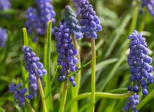 Macro image of blue muscari in botanic parc. Sunny day. Spring small flowers background stock photography
