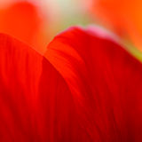 Macro Image of Bright Red Tulip Petals in Soft Style Stock Image