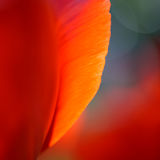 Macro Image of Bright Red Tulip Petals in Soft Style Stock Photos