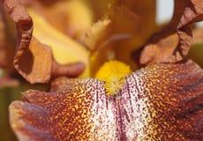 Macro image of brown iris flower Stock Image