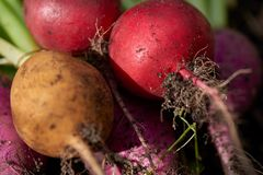 Close up of freshly harvested radish laying on the ground. A macro image of a bunch of freshly harvested radishes with vibrant reds, purples and yellows, lit by Royalty Free Stock Photo