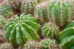 Macro image of cactus bush. Royalty Free Stock Images