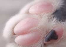 Macro Image of Cat's Paw with Pink and Black Digits. A very close up image of a cat's paw with clearly visible strands of white fur, three pink digits, one pink Stock Images