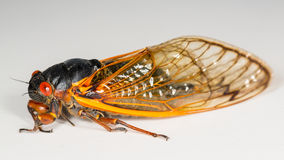 Macro image of cicada from brood II royalty free stock image