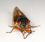 Macro image of cicada from brood II Royalty Free Stock Photo