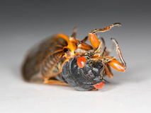 Macro image of cicada from brood II Royalty Free Stock Photography