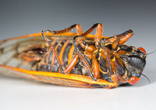 Macro image of cicada from brood II Royalty Free Stock Images