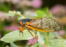 Macro image of cicada from brood II. Cicada from Brood II in 2013 in Virginia. Detailed macro image of the cicadas in the branches of small tree stock photo