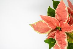 Macro image of a colorful poinsettia against a white background stock photography