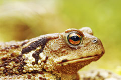 Macro image of common brown toad head Stock Images