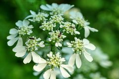 Macro image of Cow Parsley stock images
