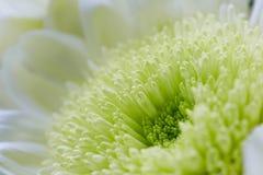 Macro image of cream Chrysanthemum Stock Images