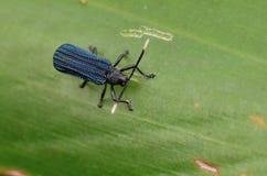 Macro image d'un scarabée filet-à ailes brillant photo stock