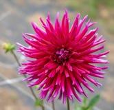 Macro image d'un type dahlia de cactus de rouge images libres de droits