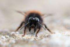 Macro image d'une abeille noire sur les trottoirs Images stock