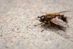 Macro image d'une mouche de fumier sur les trottoirs Photographie stock libre de droits