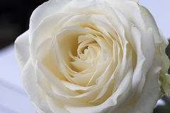 Macro image d'une rose blanche Photo stock