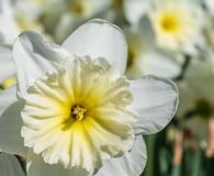 Macro image of the daffodil `Mount Hood` royalty free stock images