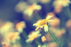 Macro image of daisies, small depth of field. Royalty Free Stock Image