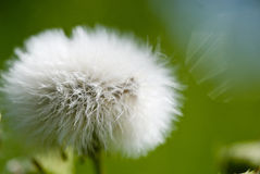 Macro Image of Dandelion Flower Stock Photo