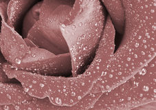 Macro image of dark red rose Royalty Free Stock Image