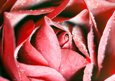 Macro image of dark red rose Royalty Free Stock Photos