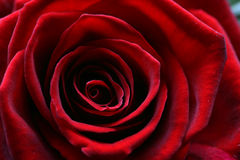 Macro image of a dark red rose in full bloom Royalty Free Stock Photo