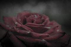 Macro image of dark red rose with water droplets royalty free stock images