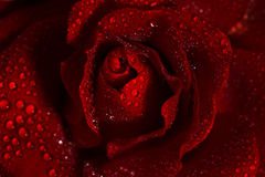 Macro image of dark red rose with water droplets Royalty Free Stock Photo
