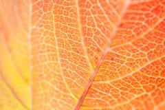 Macro image de feuille rouge d'automne Photographie stock