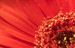 Macro image de gerbera rouge Photo libre de droits