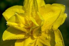 Macro image de jonquille jaune photo libre de droits