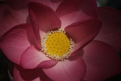 Macro image de lotus rose Photo libre de droits