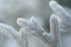 Macro image de plan rapproché de congé de Maritima de Senecio de cinéraire de cultivar de Dusty Miller Silver Dust images libres de droits