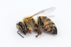 Macro image of a dead bee on a white background from a hive in d Stock Photos