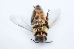 Macro image of a dead bee on a white background from a hive in d Royalty Free Stock Images