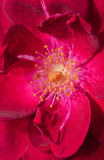 Macro image of a  deep red rose Stock Image