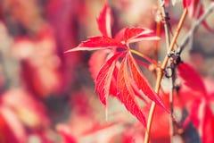 Macro image des feuilles d'automne rouges Images libres de droits