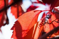 Macro image des feuilles d'automne rouges Image stock