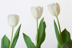 Macro image des pétales de tulipe images libres de droits