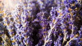 Macro image of dry lavender flowers in sun rays. Closeup photo of violet and purple flowers growing in Provence royalty free stock photography