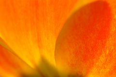 Petals of an orange and yellow tulip Royalty Free Stock Images
