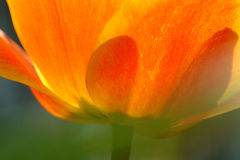 Petals of an orange and yellow tulip Royalty Free Stock Photos