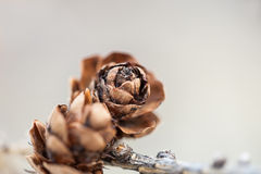 Macro image of the fir cone. Small depth of field royalty free stock photos