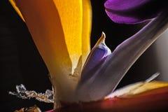 Strelitzia reginae Macro. Macro image of the flower of Strelitzia reginae Royalty Free Stock Photo