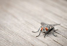 Macro image of a fly with orange eyes Stock Images