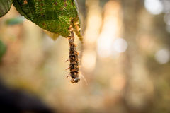 Macro image of forest tent caterpillar Royalty Free Stock Photography