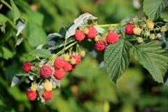 Fresh red ripe raspberries on branch. Macro image of fresh ripe raspberries Royalty Free Stock Image