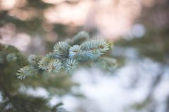 Macro image of Frozen fir trees branches in the snow.  stock photos